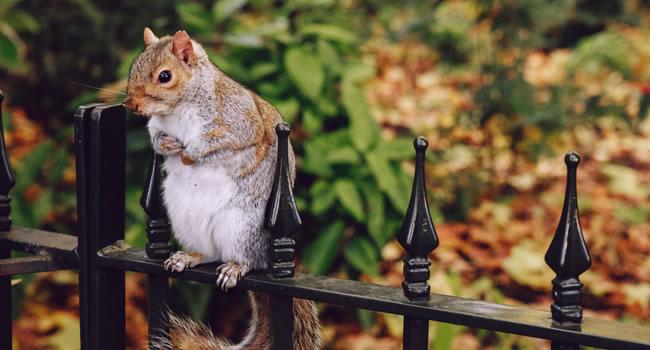 Pesky squirrel sitting on a fence