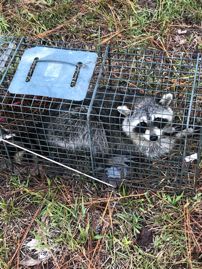 Our wildlife nuisance control team can trap raccoons and release them into an animal-friendly environment.