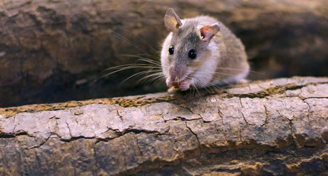 A small field mouse sitting on fallen trees