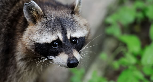 Raccoons will come out at night and become a nuisance on your property